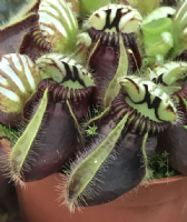 Cephalotus follicularis West Australian pitcher